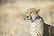 Namibia, Kamanjab, portrait of  cheetah in the savannah - GEMF01454