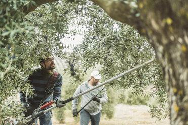 Spain, man using vibrator for olive harvest - JASF01473