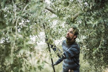 Spain, man using stick for olive harvest - JASF01476
