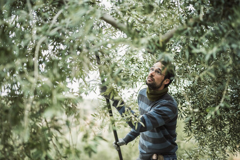 Spain, man using stick for olive harvest - JASF01476