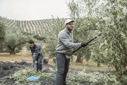 Spain, two men harvesting olives - JASF01479