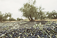 Spain, harvested black olives - JASF01482