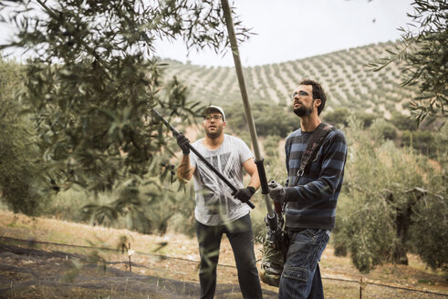 Spain, two men using vibrator and stick for olive harvest - JASF01491