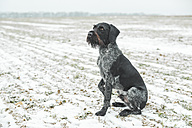 German Wirehaired Pointer sitting on snow-covered field - ASCF00717