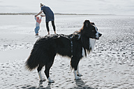 Netherlands, Schiermonnikoog, Border Collie, mother and little daughter on the beach - DWF00262
