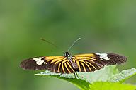 Peru, Manu National Park, tropical butterfly on leaf - FOF08787