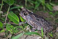 Peru, Manu National Park, aga toad - FOF08795