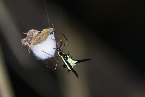 Peru, Manu National Park, Thorn orb weaver - FOF08801
