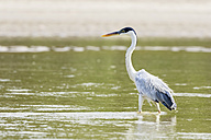 Peru, Manu National Park, Cocoi Heron wading in water of Manu River - FOF08805
