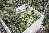 Assortment of herbs in a box in garden - JOSF00572