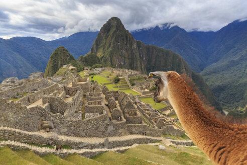 Peru, Andes, Urubamba Valley, llama at Machu Picchu with mountain Huayna Picchu - FOF08837
