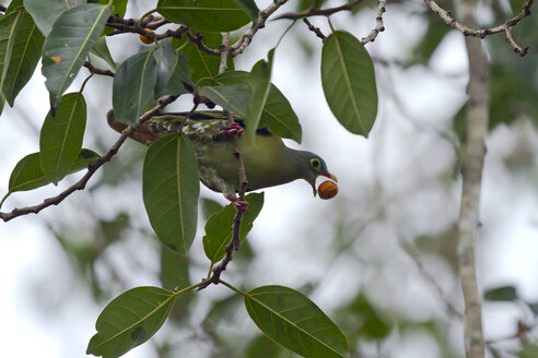 Thailand, Kaeng Krachan, Thick-billed green pigeon with fruit on twig of Indian banyan - ZC00500
