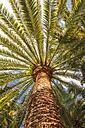 Date palm Phoenix canariensis - CSTF01214