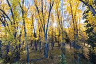 USA, Wyoming, Rocky Mountains, Grand Teton National Park, aspens in autumn - FOF08879