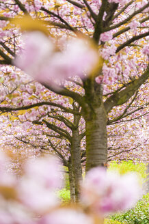 Blossoming cherry trees - SKAF00040