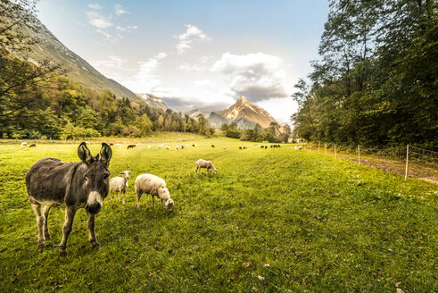Slovenia, Bovec, Kanin Valley, sheeps and donkey on a pasture - CSTF01261