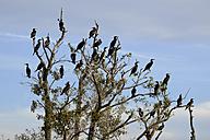 Germany, Usedom, Pudagla, flock of cormorants on tree - SIEF07304