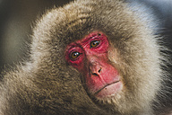 Japan, Yamanouchi, Jigokudani Monkey Park, portrait of red-faced makak - KEBF00498