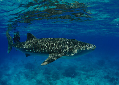Philippines, Donsol, whale shark - TOVF00068
