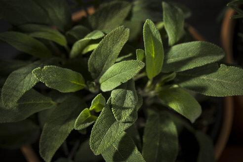 Sage in flowerpot - MAEF12156