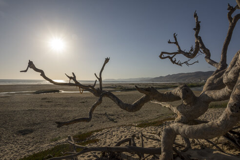 USA, California, dead tree on Pismo Beach at sunset - LMF00687