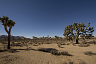 USA, California, Joshua Tree National Park, Joshua trees in desert - LMF00714