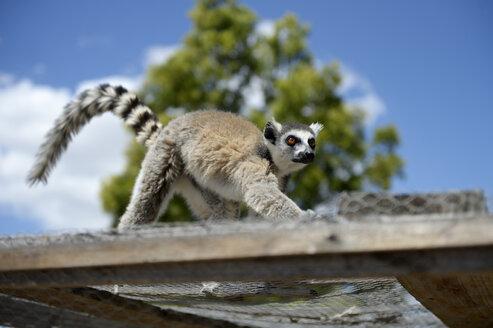 Madagascar, lemur walking on a cage - FLKF00720