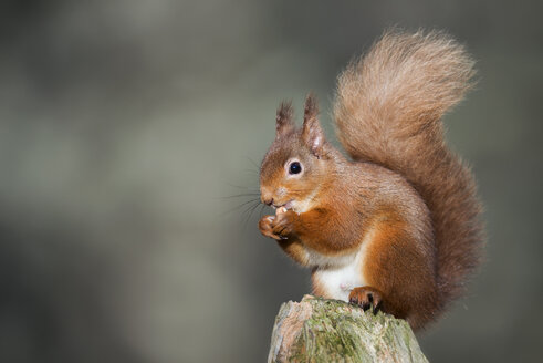 Red squirrel eating - MJOF01354