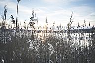 Germany, Saxony-Anhalt, frozen reed on the shore of Lake Bergwitz - ASCF00720