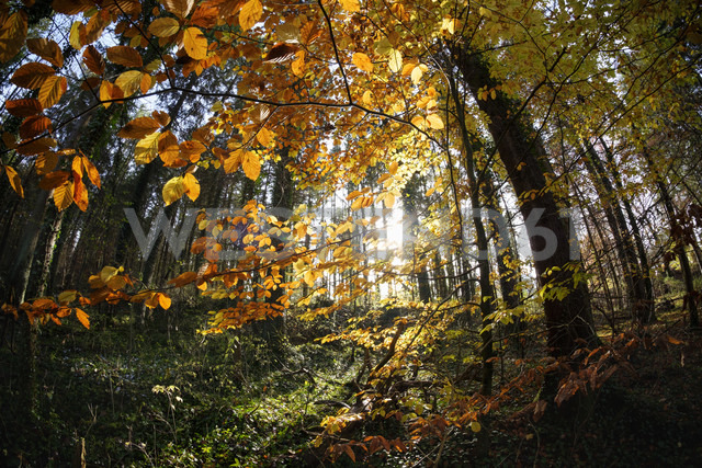 Germany, Bavaria, Isar floodplains nature reserve, copper beech in autumnal forest - SIEF07337
