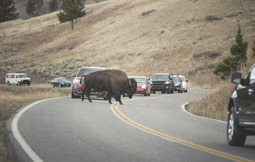 USA, Yellowstone National Park, Bison crossing road - EPF00381