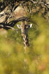 Botswana, Tuli Block, giraffe at sunlight - SRF00858
