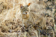 Botswana, Tuli Block, portrait of African wildcat - SRF00864
