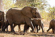 Botswana, Tuli Block, herd of African elephants - SRF00870