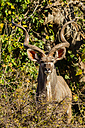 Botswana, Tuli Block, portrait of Kudu at sunlight - SRF00873