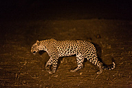 Botswana, Tuli Block, walking leopard at night - SRF00882