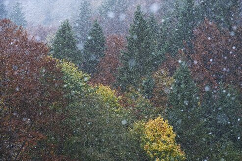 Germany, Bavaria, snowfall on forest in winter - MRF01713