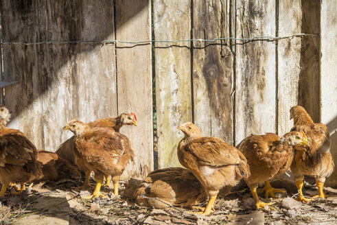 Two months old chickens in their chicken coop - SKCF00268
