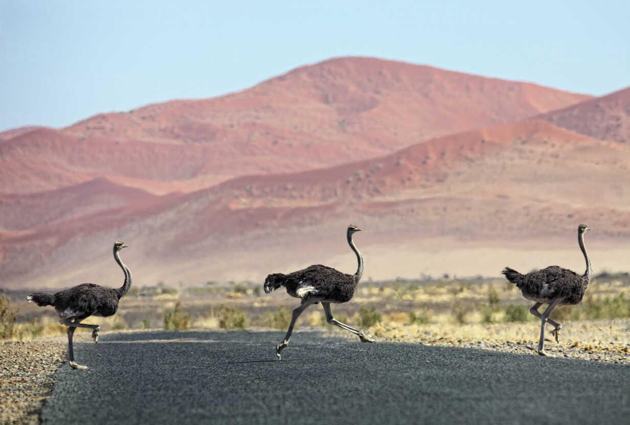 Namibia, Etosha National Park, three wild male ostrichs crossing a road - DSGF01581 - David Santiago Garcia/Westend61