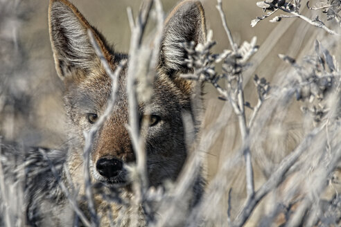 Namibia, Etosha National Park, portrait of a Black-backed Jackal - DSGF01587