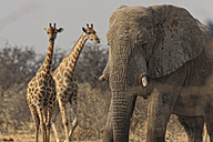 Namibia, giraffes and elephant in Etosha National Park - DSGF01590