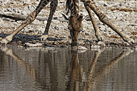 Namibia, Etosha National Park, giraffe drinking at a water hole - DSGF01596
