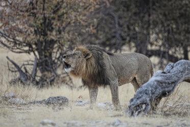 Namibia, Etosha National Park, roaring lion - DSGF01599
