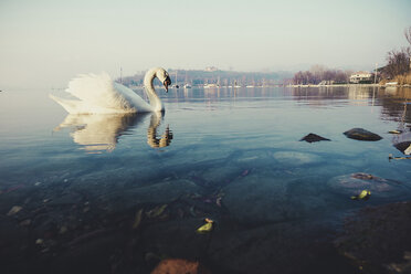 Italy, lake and swan - SIPF01453