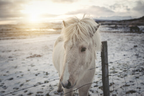 Iceland, Icelandic horse at sunset - EPF00402