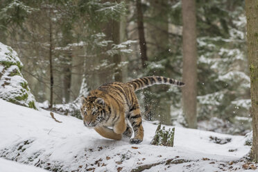 Young Siberian tiger hunting in forest in snow - PAF01763