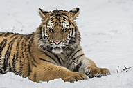 Young Siberian tiger lying in snow - PAF01766
