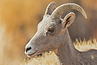 USA, Nevada, Valley of Fire State Park, portrait of a female bighorn sheep - FOF09090