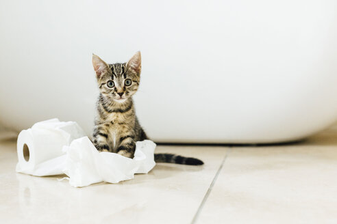 Eight week old tortoiseshell kitten playing with toilet roll - NMSF00023
