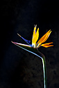 Crane flower - CSF28180